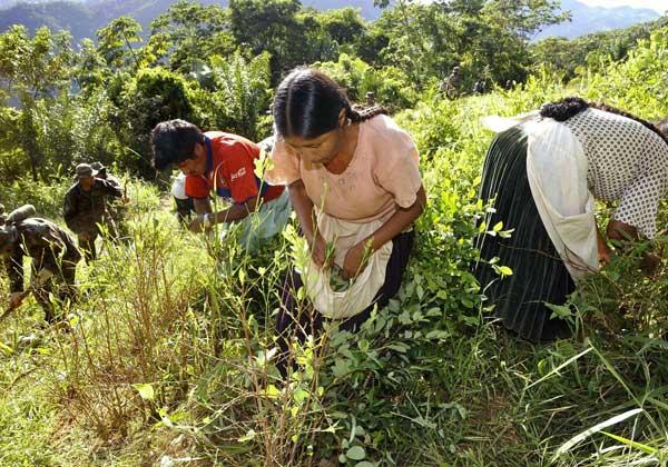 Cáceres Informe De La Onudc Prevé Incremento De Cultivos De